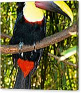Chestnut Mandibled Toucan Canvas Print