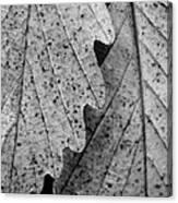 Chestnut Oak Leaves Canvas Print