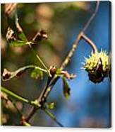 Chestnut On The Tree Canvas Print
