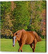 Chestnut Red Horse Canvas Print