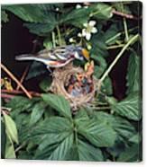 Chestnut-sided Warbler At Nest Canvas Print