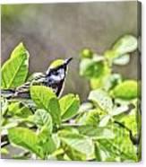 Chestnut Sided Warbler Canvas Print