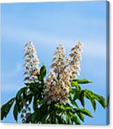 Chestnut Tree Blossoms - Featured 2 Canvas Print