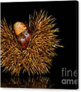 Chestnuts Canvas Print