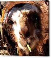 Chewing Llama Canvas Print