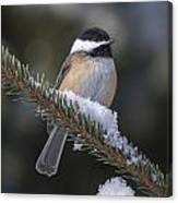Chickadee On The Spruce Canvas Print