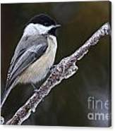 Chickadee Pictures 228 Canvas Print