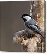 Chickadee Pictures 261 Canvas Print