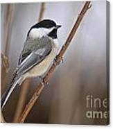 Chickadee Pictures 316 Canvas Print