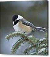 Chickadee Pictures 521 Canvas Print