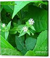 Chickweed Trio Canvas Print
