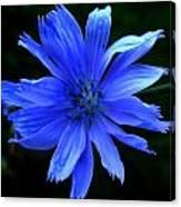 Chicory 2 Canvas Print