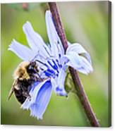 Chicory Bee Canvas Print