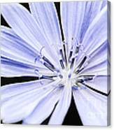 Chicory Flower Macro Canvas Print