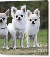 Chihuahua Dogs Canvas Print
