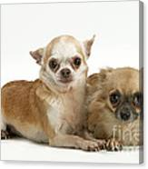 Chihuahua Puppy Dogs Canvas Print