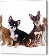Chihuahuas Dogs Canvas Print