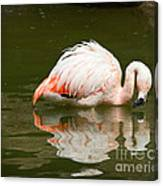 Chilean Flamingo Reflection Canvas Print
