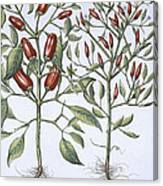 Chilli Pepper Plants Canvas Print