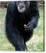 Chimpanzee-5 Canvas Print