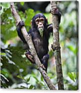Chimpanzee Baby Eating A Leaf Tanzania Canvas Print
