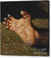 Chimpanzee Foot Canvas Print