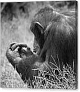 Chimpanzee In Thought Canvas Print