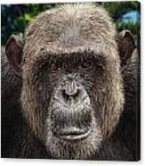 Chimpanzee Male Canvas Print