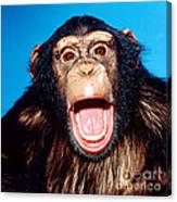 Chimpanzee Portrait Canvas Print