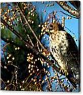 China Berry Hawk Canvas Print