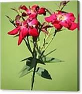 China Rose Canvas Print