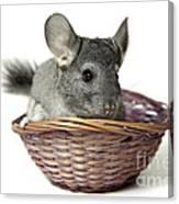 Chinchilla In A Straw Basket  Canvas Print