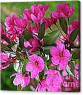 Chinese Apple Blossoms Canvas Print