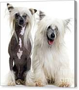 Chinese Crested Dogs Canvas Print