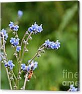Chinese Forget Me Nots Canvas Print