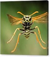 Chinese Paper Wasp Canvas Print