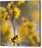 Chinese Witch Hazel Canvas Print
