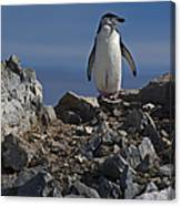 Chinstrap On The Look Out.. Canvas Print
