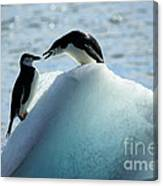 Chinstrap Penguins On Iceberg Canvas Print
