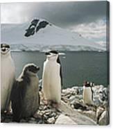 Chinstrap Penguins With Chick Paradise Canvas Print