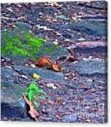 Chipmunk Scrounging Amoung The Rocks Canvas Print