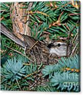Chipping Sparrow On Nest Canvas Print