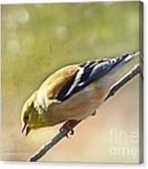 Chirping Gold Finch Canvas Print