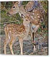 Chital Deer And Fawn Canvas Print