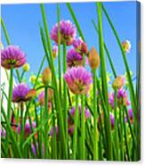 Chive Flowers And Buds Canvas Print