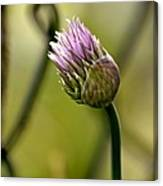 Chive In Bloom Canvas Print