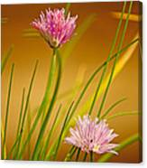 Chives Flowers Canvas Print
