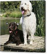 Chocolate And Cream Labradoodles Canvas Print