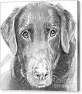 Chocolate Lab Sketched In Charcoal Canvas Print