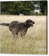 Chocolate Labradoodle Running In Field Canvas Print